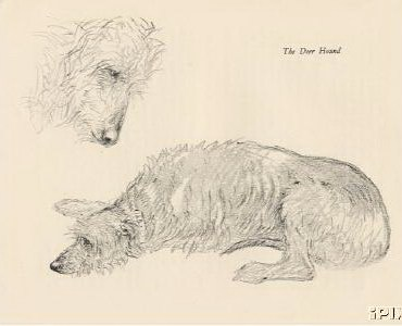 STUDY OF DEERHOUNDS by K. F. BARKER