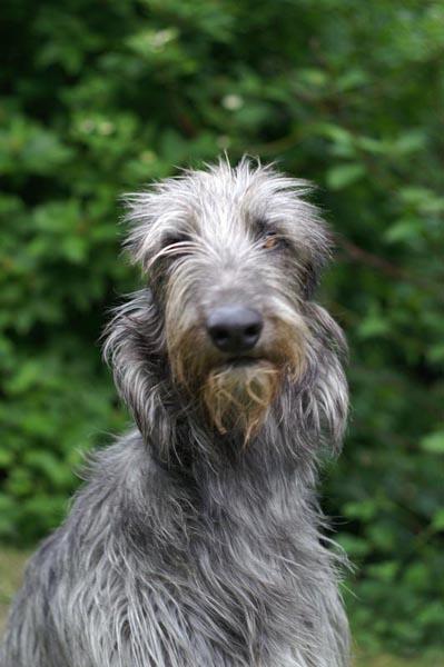 My presentation - Scottish Deerhound Community  Deerhounds